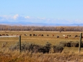 Horse Ranching  East of Fort MacLeod, Alberta   2014 10 18 IMG_6377