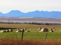 Pincher Creek Area Fields and Bales 2015 10 23 IMG_3463