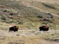 Prairie Bison Roam Grassy Hills of Alberta 2016 09 24 IMG_7693