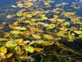 Columbia Lake - Aquatic Fall 2015 09 28 IMG_6927