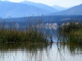 Columbia Lake Wetlands - Looking SW Through Reeds to Purcell Mountains 2014 09 22 IMG_2618