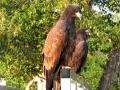 Young Bald Eagles Guard Marina Entrance 2015 08 13 IMG_6434