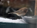 Junco at Feeder 2017 01 09 IMG_8906