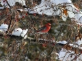 Pine Grosbeak Enjoys My Ornamantal Crab Tree Berries 2017 02 10 IMG_9108
