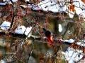 Pine Grosbeak Reaches for Ornamental Crab Berries 2017 02 10 IMG_9109