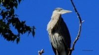 1-Great-Blue-Heron-Watches-Me-in-Kayak-on-Columbia-Lake-Below-As-I-Click-Away-2014-09-21-IMG_2558-nggid03483-ngg0dyn-200x200x90-00f0w010c010r110f110r010t03jpg