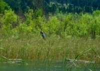 elaine-great-blue-heron-in-wetlands-20130717-img_2493-nggid03188-ngg0dyn-200x200x90-00f0w010c010r110f110r010t03jpg