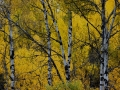 Birch Near Wasa BC 2013 10 02 IMG_5846
