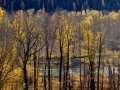 Elk River BC Brilliant Autumn Leaves 2015 10 23 IMG_3288