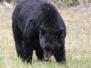 Photo - Bears