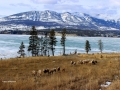 Big Horn Herd East Side of Columbia Lake - Mt Marion in Background 2013 02 26 IMG_0714