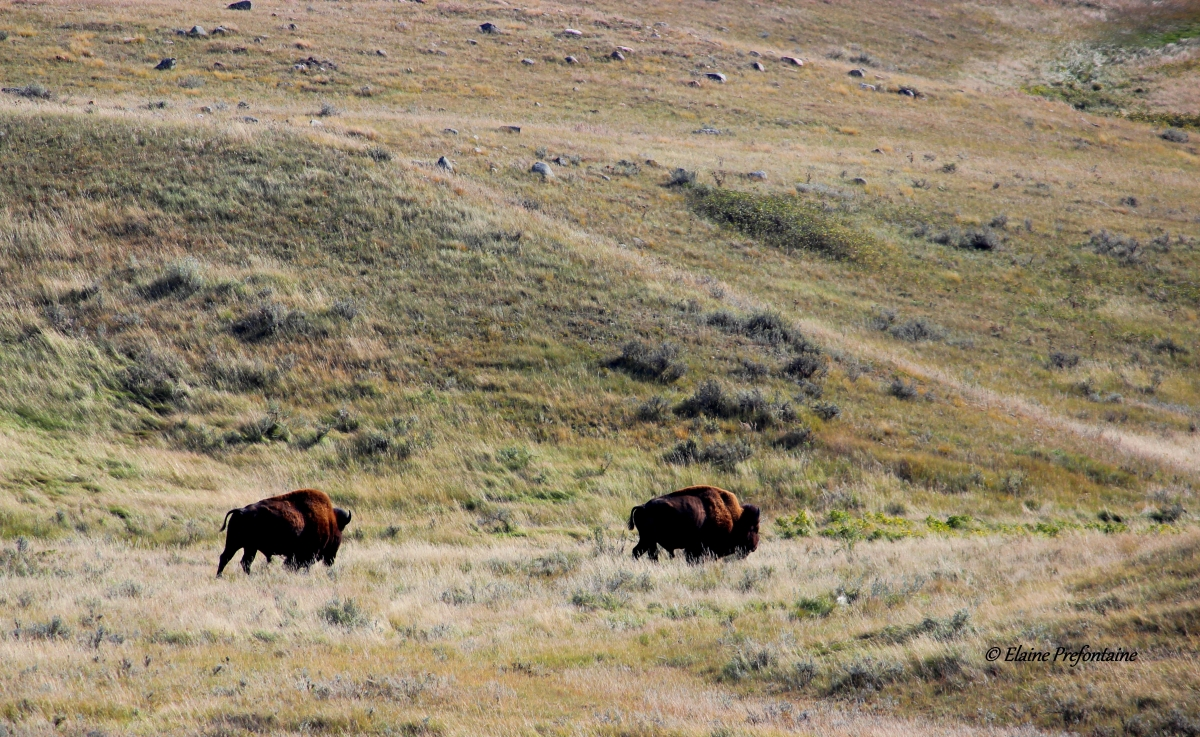 Prairie Bison Roam The Hills 2016 09 24 IMG_7693