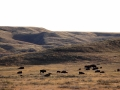 Bison Herd East of Irvine Alberta 2014 10 17 IMG_6146