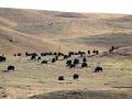 Alberta Bison Roam Hills 2015 10 10 IMG_2554