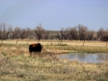 Bison - By Prairie Slough 2014 05 09 IMG_9149
