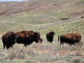 Bison East of Medicine Hat 2014 05 09 IMG_9152