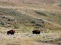 Prairie Bison Roam The Hills 2016 09 24 IMG_7693
