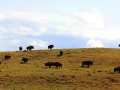 Bison Roaming Hills East of Irvine Alberta 2014 05 09 IMG_9180