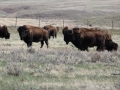 Bison Watch Me Taking Their Photo - East of Irvine Alberta 2014 05 10 IMG_9143