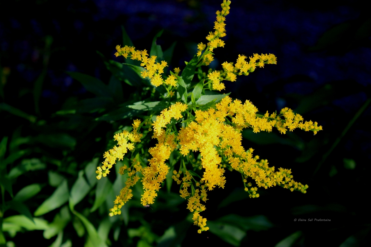 Goldenrod - In My Yard 2013 07 20   IMG_3834.jpg