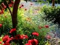 Poppies & Flowers - In My Yard  2013 07 02  IMG_3450