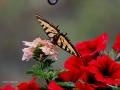 Tiger Swallowtail Wing Display 2016 06 13 IMG_7635