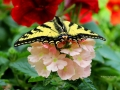 Tiger Swallowtail on Pink Flowers 2016 06 13 IMG_7616