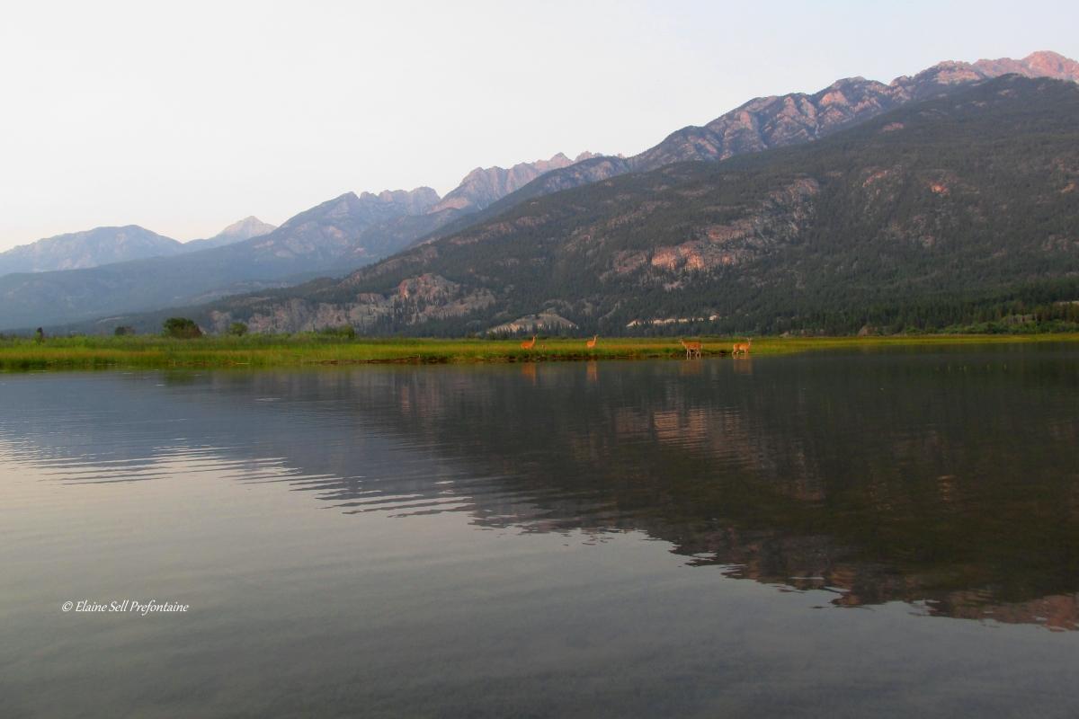 Deer Enjoy Columbia Lake Wetlands 2015 08 12 IMG_6383