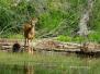 Photo - Deer
