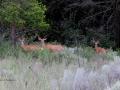 Deer Family Alert 2013 07 03 TRM  IMG_3602