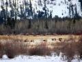 Elk - Grazing in Columbia Lake South Wetlands 2015 01 11 IMG_7274 C