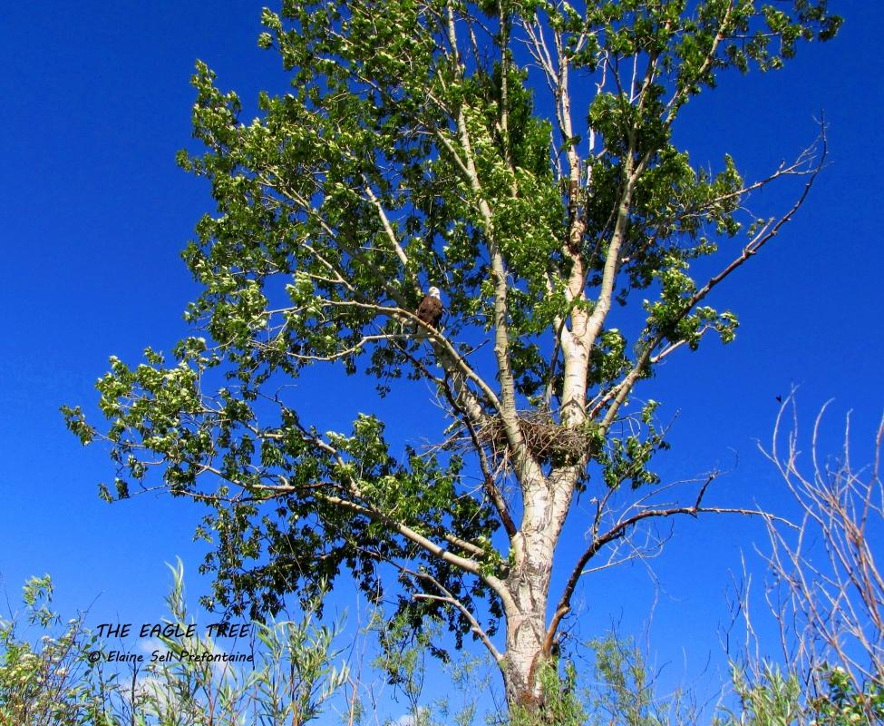 Bald Eagle Tree by Columbia Lake BC, 2014 06 06, IMG_0718