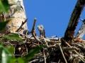 Bald Eagle Eaglet - Approx 5 Days Old - 2018 05 23  IMG_1704