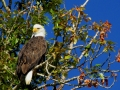 Bald Eagle in Columbia Lake Eagle Tree 2014 09 16 IMG_2342