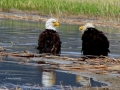Eagle Pair Bathing in Columbia Lake Waters - 2017 05 10 IMG_9456