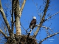 Budding Eagle Tree Nest Watch 2015.04.20 IMG_3337.jpg
