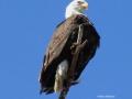 Eagle Profile on Top Limb 2015.04.20 IMG_3444.jpg