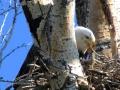 Bald Eagle Feeds Eaglet - 2018 05 23 IMG_1763
