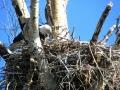 Bald Eagle Parent Feeds Eaglet - 2018 05 23 IMG_1749