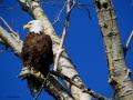 Bald Eagle Mother - 2018 05 23 IMG_1685