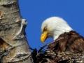 Eagle Blink - 2018 05 14 IMG_1488
