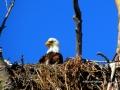 Eagle Guards Nest - 2018 05 14 IMG_1477