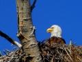 Female Eagle Open Beak Profile - 2018 05 14 IMG_1480