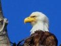 Bald Eagle Female Profile - 2018 05 14 IMG_1489