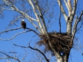 Bald Eagle Pair Nesting 2015 04 09 IMG_3220.jpg