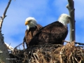 Eagle Parents Watch - 2018 05 19 IMG_1569
