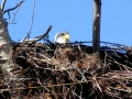 Mama Bald Eagle On Her Well Built Nest 2015 04 09 IMG_3222.jpg