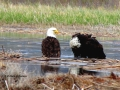Bald Eagle Pair Bath in Columbia Lake 2017 05 10 IMG_9448