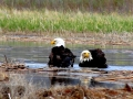 Eagle Pair Bath in Columbia Lake Waters - May 2017 IMG_9451