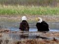 Bald Eagle Pair Bathing In the Wetlands 2017 05 10 IMG_9452